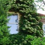 Mature (15+ years) Climbing Hydrangea