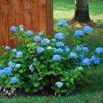 Hydrangea Endless Summer