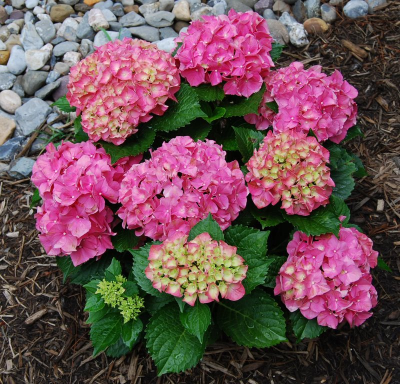 Hydrangea macrophylla 'Forever and Ever'